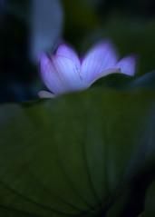 D85_5434s (An Xiao) Tags: lotus aquaticgarden