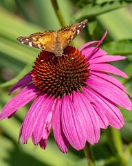 Feeding Time (punahou77) Tags: butterfly cone coneflower flower macro bokeh nature nikond500 nikon insect tulsa oklahoma