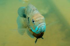 Bluegills III (agasfer) Tags: 2019 southcarolina oconee county devilsforkstatepark underwater scuba diving freshwater fish sony a6000 intova iss2000 sonye2820