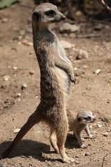 meerkat Burgerszoo 094A0716 (j.a.kok) Tags: animal africa afrika mammal meerkat motherandchild moederenkind zoogdier dier stokstaartje burgerszoo