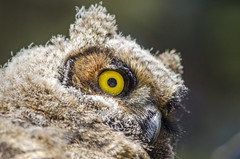 Great Horned Owlet (Tom Fenske Photography) Tags: owl owlet young juvenile raptors birdofprey wildlife nature wild eye