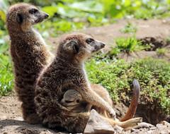 meerkat Burgerszoo 094A0450 (j.a.kok) Tags: animal africa afrika mammal meerkat motherandchild moederenkind zoogdier dier stokstaartje burgerszoo