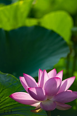 DSC_3185_0001 (albertpcwu) Tags: 荷花 lotus 清水 趙家古厝 hasselblad carl zeiss 4180mm