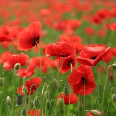 In.. visible (Robyn Hooz) Tags: papaveri piave fiume veneto grave danza dance petali petals flowers fiori