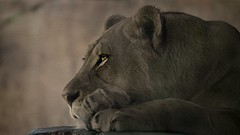 Eyes Speak The Truth (Christina's World!) Tags: 6890 lion wildanimal nature africa eyes fur animal safari park textures