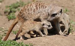 meerkat Burgerszoo 094A0691 (j.a.kok) Tags: animal africa afrika mammal meerkat motherandchild moederenkind zoogdier dier stokstaartje burgerszoo