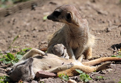 meerkat Burgerszoo 094A0576 (j.a.kok) Tags: animal africa afrika mammal meerkat motherandchild moederenkind zoogdier dier stokstaartje burgerszoo