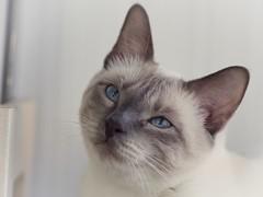 P6192308 (Vladimir V. Samoylov) Tags: 75mm animals cat e5markii mzuiko75mmf18 m43 micro43 microfourthirdsmicro43 olympus olympusm75mmf18 omd μ43