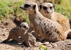 meerkat Burgerszoo 094A0612 (j.a.kok) Tags: animal africa afrika mammal meerkat motherandchild moederenkind zoogdier dier stokstaartje burgerszoo