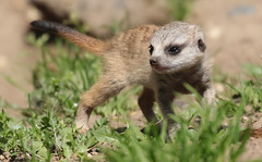 meerkat Burgerszoo 094A0696 (j.a.kok) Tags: animal africa afrika mammal meerkat motherandchild moederenkind zoogdier dier stokstaartje burgerszoo