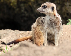 meerkat Burgerszoo 094A0417 (j.a.kok) Tags: animal africa afrika mammal meerkat motherandchild moederenkind zoogdier dier stokstaartje burgerszoo