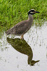 Yellow-Crowned Night-Heron (dbadair) Tags: outdoor nature wildlife 7dm2 7d ii ef100400mm canon florida bird