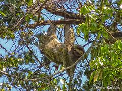 Costa Rica - Faultier / sloth (peterkaroblis) Tags: costarica faultier sloth
