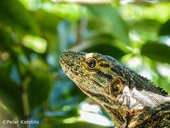 Costa Rica - Iguana iguana / Leguan (peterkaroblis) Tags: costarica tortuguero iguanaiguana grünerleguan greeniguana