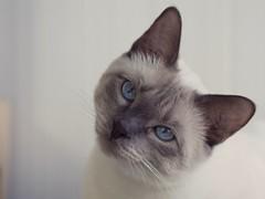 P6192317 (Vladimir V. Samoylov) Tags: 75mm animals cat e5markii mzuiko75mmf18 m43 micro43 microfourthirdsmicro43 olympus olympusm75mmf18 omd μ43