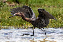Reddish Egret on the Move Wings Up (dbadair) Tags: outdoor nature wildlife 7dm2 7d ii ef100400mm canon florida bird water bay 100400