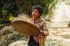 Myanmar Woman Shelling Beans (AdamCohn) Tags: adam cohn adamcohn bagan burma myanmar oldbagan streetphotographer streetphotography wwwadamcohncom portrait woman beans basket face