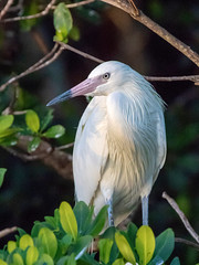 White Morph Reddish Egret (dbadair) Tags: outdoor nature wildlife 7dm2 7d ii ef100400mm canon florida bird
