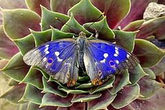 blue butterfly (majka44) Tags: insect blue butterfly nature flower light 2018 macro green garden sony mygarden