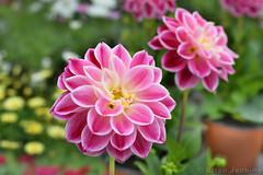 "Dahlia ""Surprise Louise"" (Bri_J) Tags: rhs chatsworthflowershow2019 chatsworthhouse edensor derbyshire uk chatsworth flowershow nikon d7500 dahlia surpriselouise flowers dahlietta hdr"