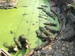 crocodile farm (ChalidaTour) Tags: thailand thai asia asian crocodile animal wild dangerous reptile water