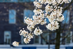 Sprung (A Different Perspective) Tags: amsterdam holland netherlands blossom blue blur flowers spring tree white