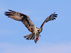 Osprey Landing with a Catfish (dbadair) Tags: outdoor nature wildlife 7dm2 7d ii ef100400mm canon florida bird