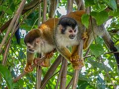 Costa Rica - Totenkopfaffe / squirrel monkey (peterkaroblis) Tags: costarica totenkopfaffe squirrelmonkey