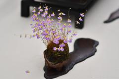 Small Mauve Flowers (Bri_J) Tags: rhs chatsworthflowershow2019 chatsworthhouse edensor derbyshire uk chatsworth flowershow nikon d7500 mauve flowers
