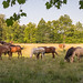 Horse herd at Cades Cove, Smoky Mountains NP