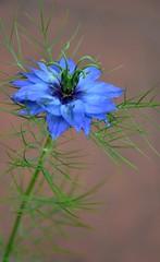 Love-in-the-Mist (hapsnaps) Tags: hapsnaps 2019 summer hampshire southampton garden flowers loveinthemist blue 69100