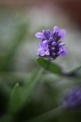 Lavender (mellting) Tags: eskilstuna lägenheten nikond500 platser bloggad extensiontube flickr instagram matsellting mellting nikkor5018 nikon sverige sweden lavender lavendel lavandulaangustifolia flower plant