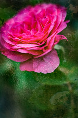The scent is wonderful too! (judy dean) Tags: judydean 2019 garden gertrudejekyll rose rosa pink perfume lensbaby texture ps