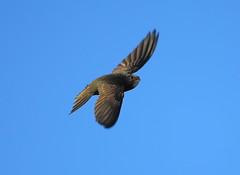 Swift   (Apus apus) (minvallaa) Tags: swift apus summer migrant arial hunter fast streamlined common