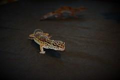 Leopardgecko (Sylvia Okon) Tags: gecko animals echsen