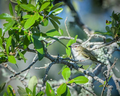 Fort De Soto Park Black-whiskered  Vireo 05-02-2018 (Jerry's Wild Life) Tags: florida fortdesoto fortdesotopark ftdesoto ftdesotopark pinellascounty pinellascountypark revi redeyed redeyedvireo songbird songbirds vireo vireoolivaceus