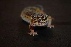 Leopardgecko Barbardos (Sylvia Okon) Tags: gecko animals echsen