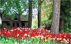 Floralia Brussels, Parc du Château de Grand Bigard, Dilbeek, Brabant flamand, Belgium (claude lina) Tags: claudelina belgium belgique belgië grandbigard floraliabrussels brabantflamand fleurs flowers tulipes tulips parc châteaudegrandbigard