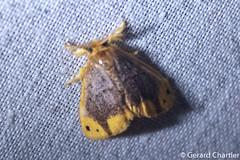 Arna bipunctapex (GeeC) Tags: nygmiini noctuoidea animalia cambodia arthropoda nature tatai lepidoptera lymantriinae kohkongprovince arnabipunctapex insecta arna erebidae butterfliesmoths tussockmoths ឃុំឫស្សីជ្ kohkong