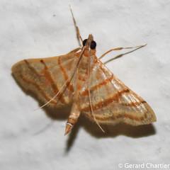 Pagyda salvalis (GeeC) Tags: tatai animalia crambidae pagyda nature arthropoda lepidoptera insecta kohkongprovince cambodia pagydasalvalis pyraloidea pyraustinae butterfliesmoths