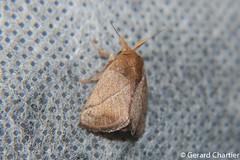 Cup Moth (Limacodidae) (GeeC) Tags: tatai animalia nature arthropoda limacodidae kohkongprovince insecta cambodia lepidoptera zygaenoidea butterfliesmoths slugcaterpillarmoths slugmothsandnettlecaterpillars