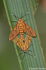 Amata tigrina (GeeC) Tags: tatai animalia noctuoidea arthropoda insecta nature arctiinae lepidoptera syntomini amata cambodia amatatigrina kohkongprovince erebidae butterfliesmoths tigermoths