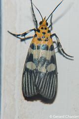 Vitessa suradeva (GeeC) Tags: tatai animalia insecta arthropoda nature pyralidae lepidoptera vitessa vitessasuradeva pyralinae kohkongprovince pyraloidea cambodia butterfliesmoths snoutmoths