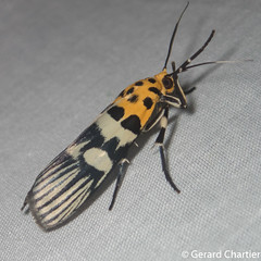 Vitessa suradeva (GeeC) Tags: tatai animalia insecta arthropoda nature pyralidae lepidoptera vitessa vitessasuradeva pyralinae kohkongprovince pyraloidea cambodia butterfliesmoths snoutmoths ឃុំឫស្សីជ្ kohkong