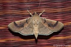 Omiodes sp. (GeeC) Tags: tatai animalia crambidae nature lepidoptera arthropoda kohkongprovince cambodia insecta pyraloidea spilomelinae