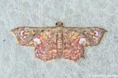Enispa sp. (GeeC) Tags: noctuoidea animalia cambodia nature enispa arthropoda boletobiinae kohkongprovince insecta tatai lepidoptera erebidae butterfliesmoths