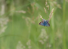 lady blue (Emma Varley) Tags: butterfly commonblue female grass meadow sunshine summer june westsussex