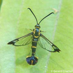 Clear-wing Moth (Sesiidae) (GeeC) Tags: sesioidea animalia sesiidae arthropoda cambodia kohkongprovince insecta tatai lepidoptera nature butterfliesmoths clearwingmoths