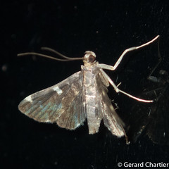Piletocera aegimiusalis (GeeC) Tags: piletoceraaegimiusalis tatai animalia crambidae nature piletocera lepidoptera arthropoda kohkongprovince spilomelinae insecta pyraloidea cambodia butterfliesmoths ឃុំឫស្សីជ្ kohkong