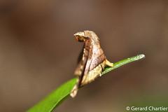 Window-winged Moth (Thyrididae) (GeeC) Tags: tatai animalia nature lepidoptera arthropoda thyrididae insecta kohkongprovince cambodia thyridoidea butterfliesmoths windowwingedmoths
